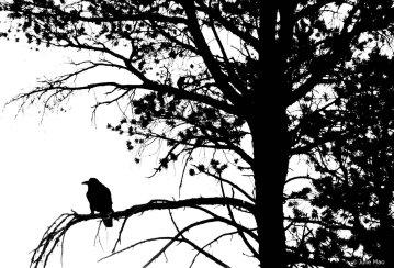 jmao-raven20corvus20corax